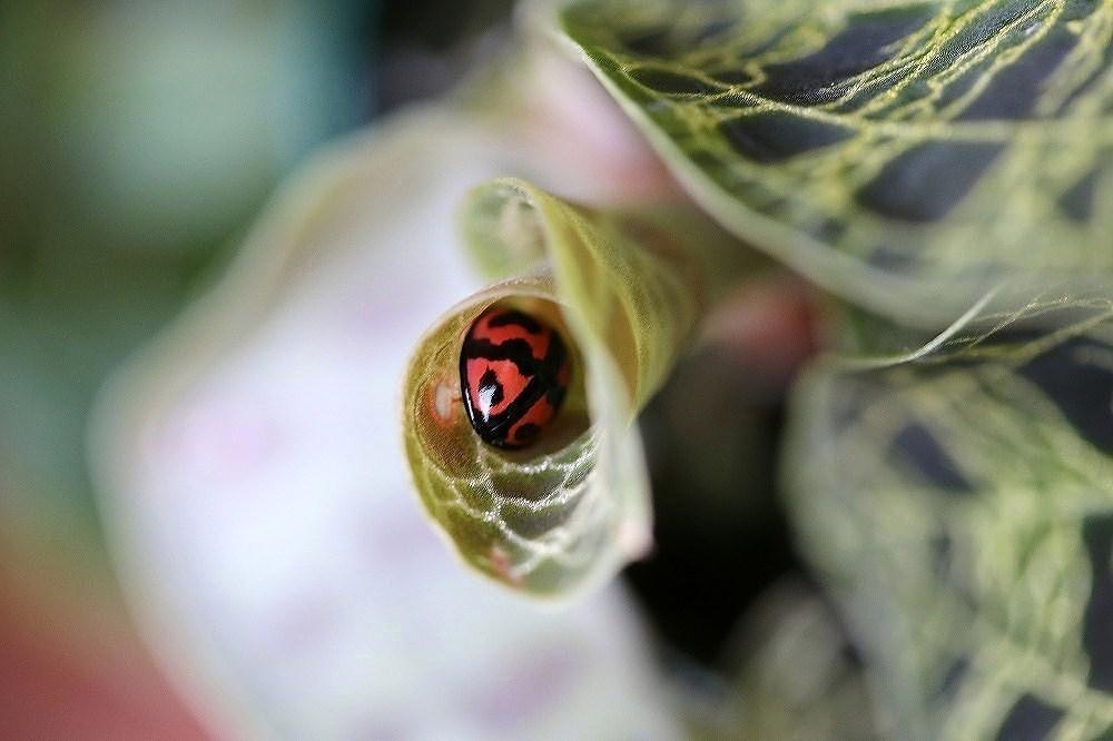 宝石蘭の葉にダンダラテントウ(1)