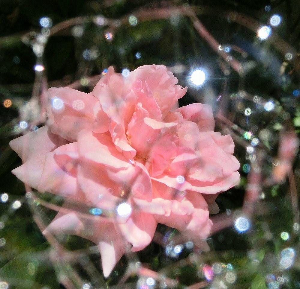 ピンクのバラとシャボン玉(1)