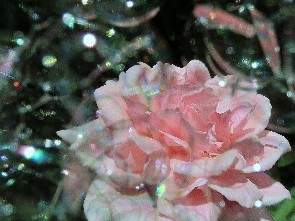 ピンクのバラとシャボン玉(2)