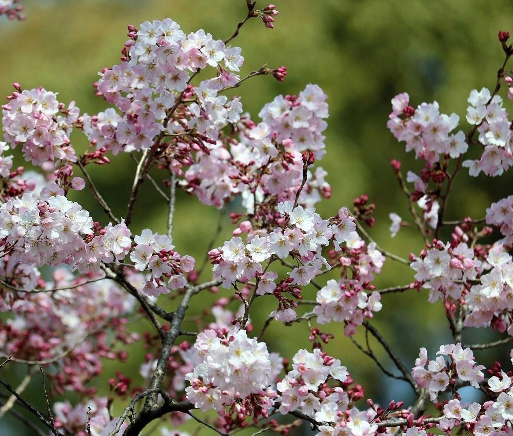 2017年3月25日上野公園にて桜(5)