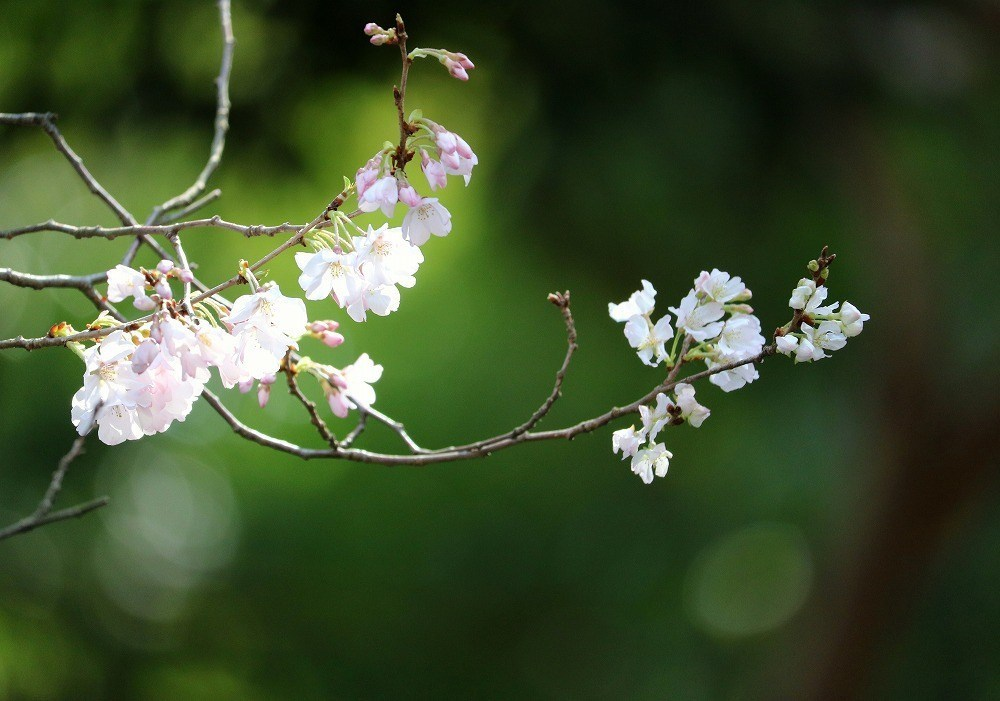 2017年3月25日上野公園にて桜(6)