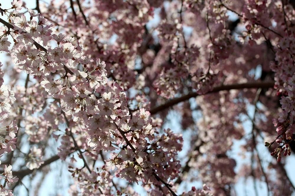 2017年3月25日上野公園にて桜(8)