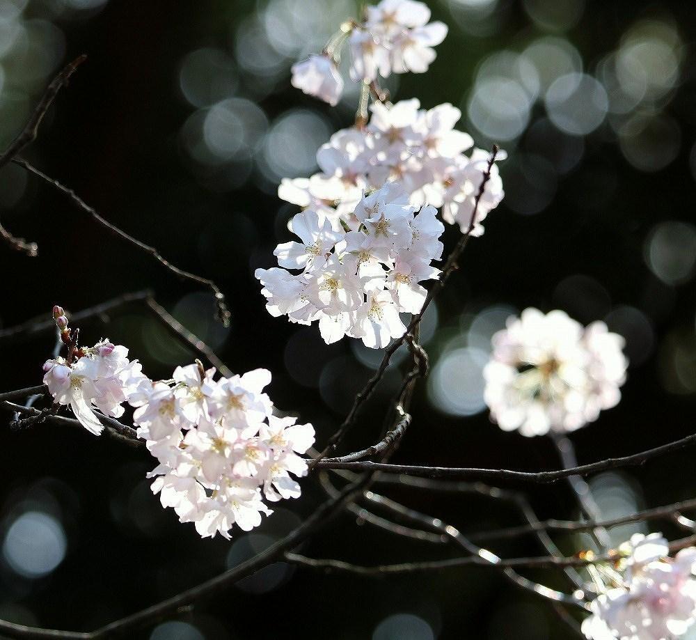 2017年3月25日上野公園にて桜(9)