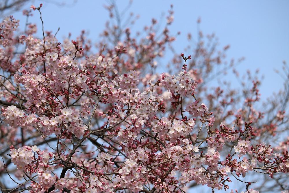 2017年3月25日上野公園にて桜(3)