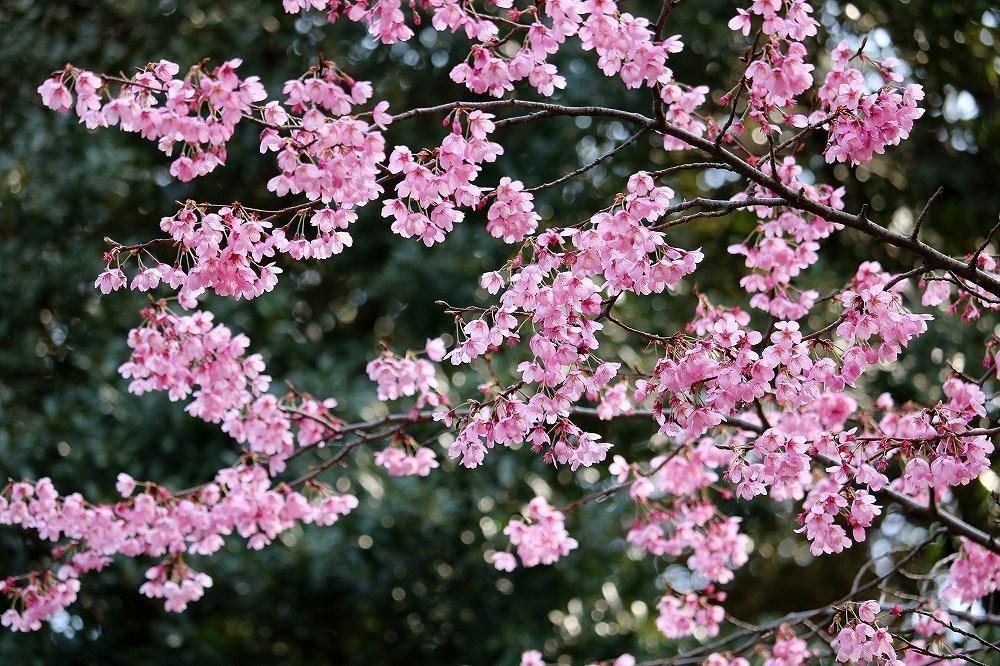 2017年3月25日上野公園にて桜(1)