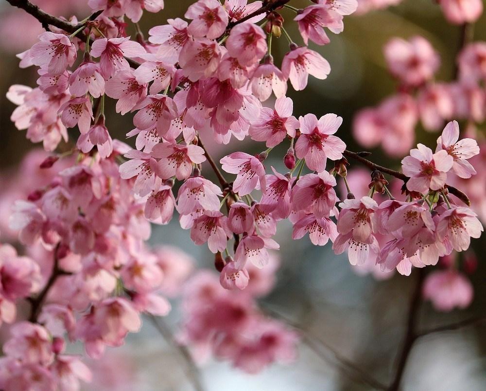 2017年3月25日上野公園にて桜(2)