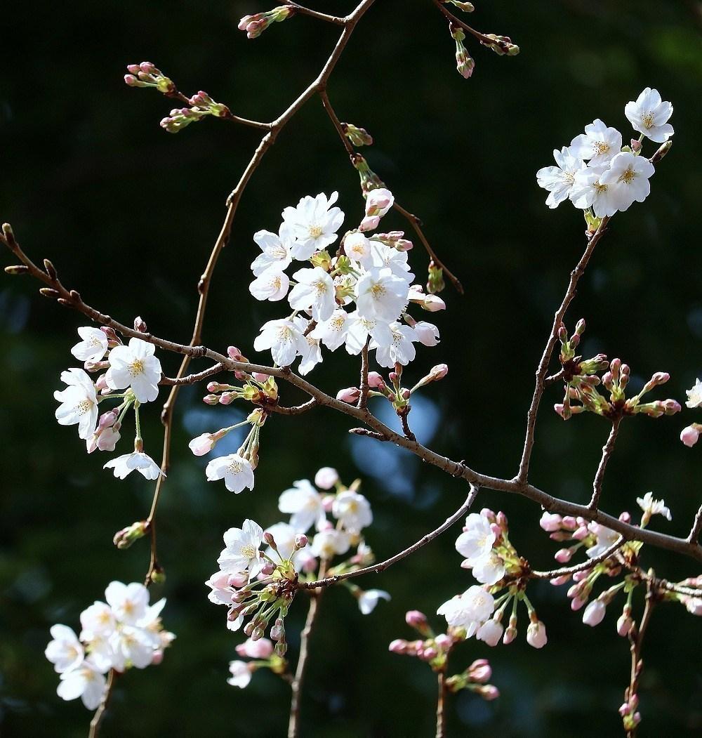 2017年3月25日上野公園にて桜(10)