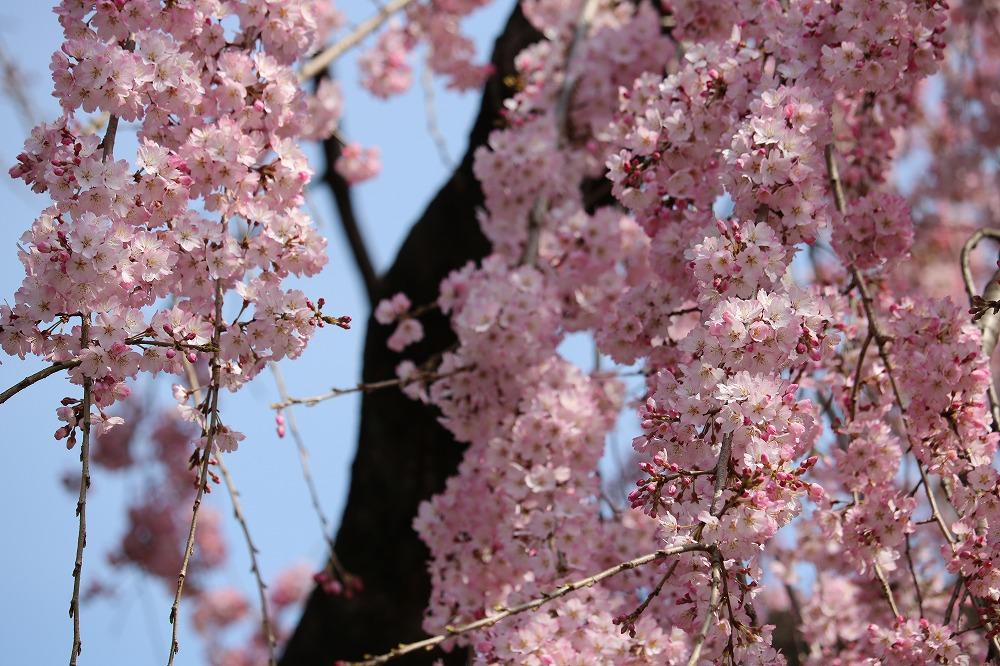 2017年3月25日上野公園にて桜(11)