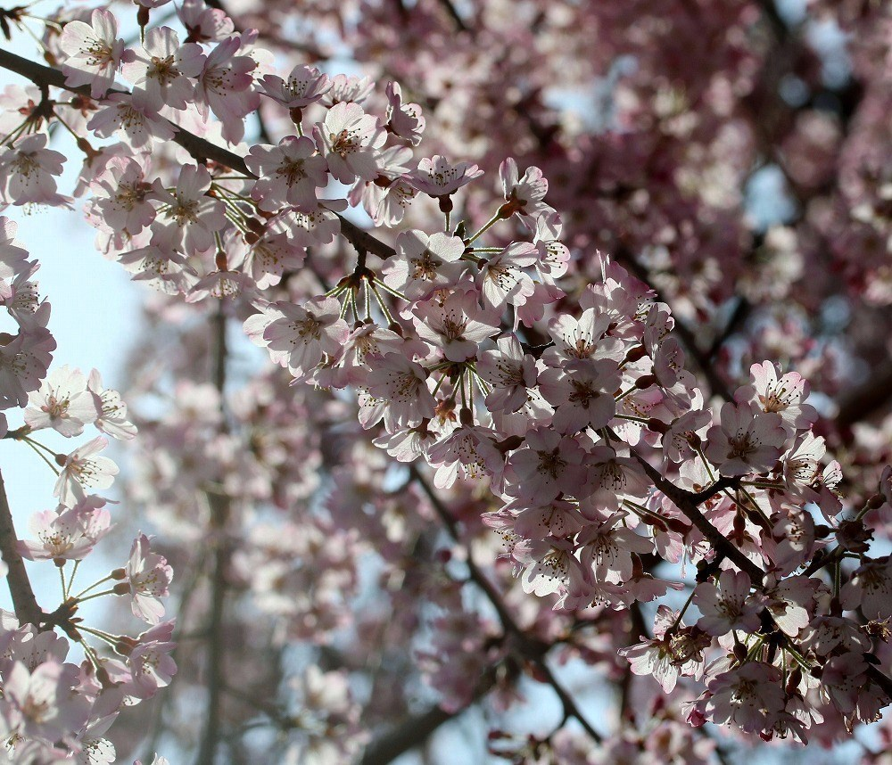 2017年3月25日上野公園にて桜(7)