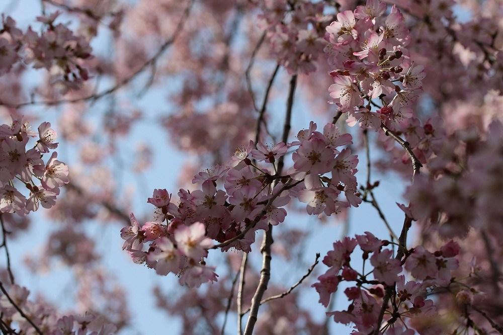 2017年3月25日上野公園にて桜(4)