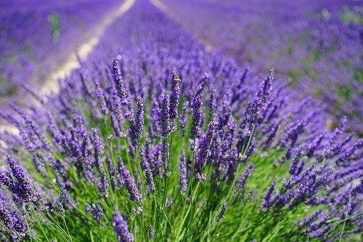 lavender-field-1595587__340.jpg