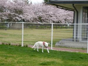 ドッグランにて-桜-笑う風花