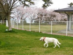 ドッグランにて-歩く風花
