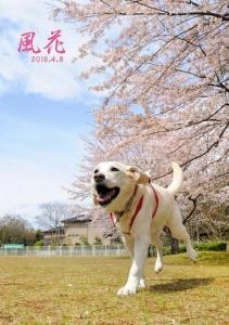 桜の前で駆け出す風花