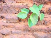 壁に菩提樹