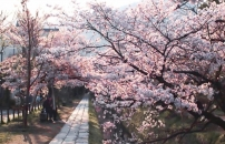 桜が咲いている春